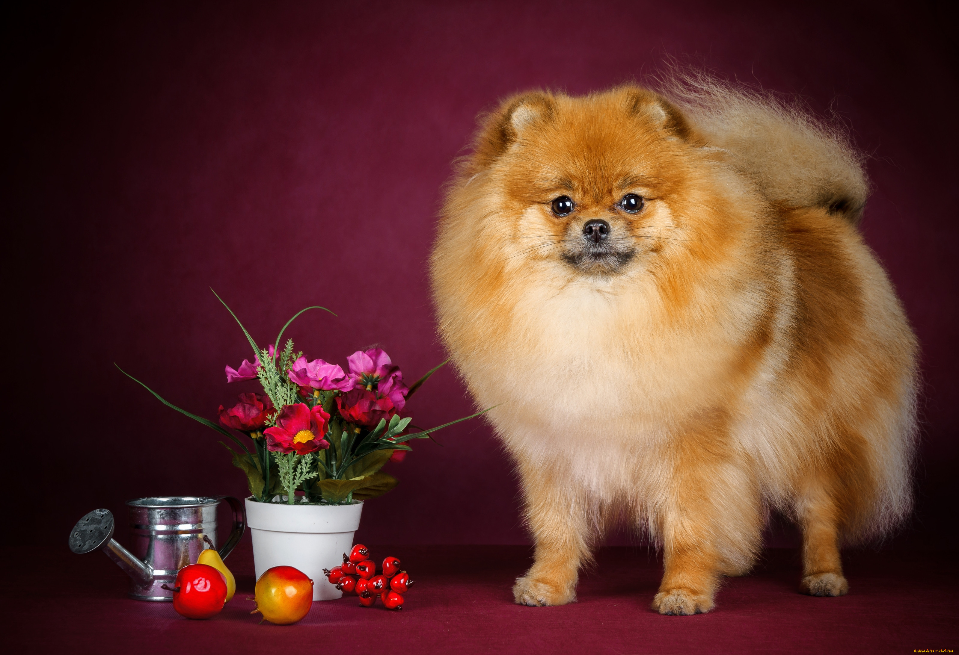 Красивые картинки собак шпиц